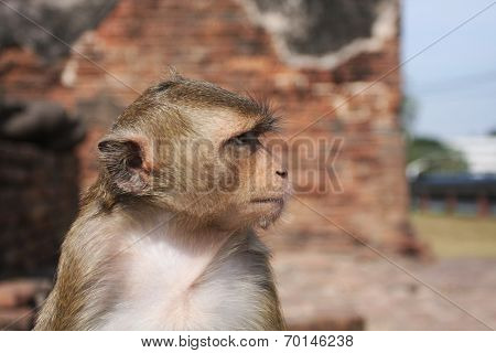 Monkey. Lopburi Thailand