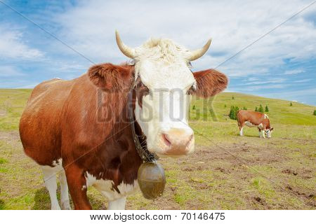 Cows In The Mountains With Horns And Cowbells