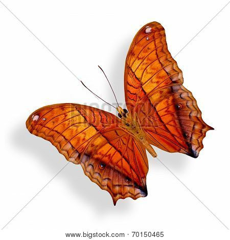 Common Commander Butterfly Lower Wing Profile In Natural Color Isolated On White Background With Sof