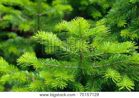 Fresh pine branch at summer