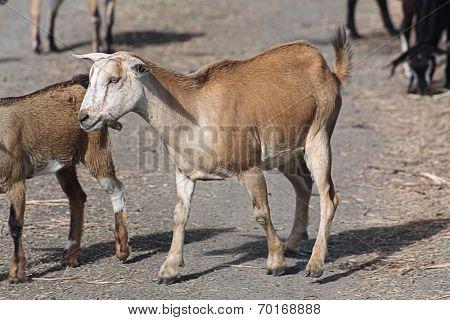 Goats on Roadway