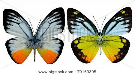 Set Of Orange Gull Butterfly Both Upper And Low Wing In Natural Color Profile Isolated On White Back