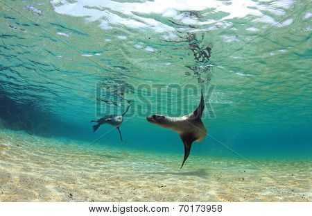 Sea lion swimming underwater