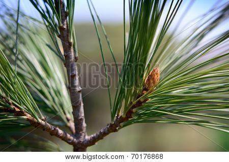 budding Evergreen tree