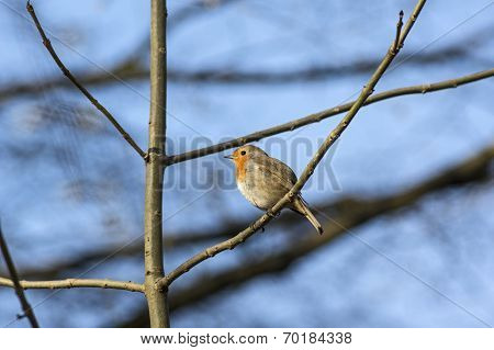 Robin on blue sky