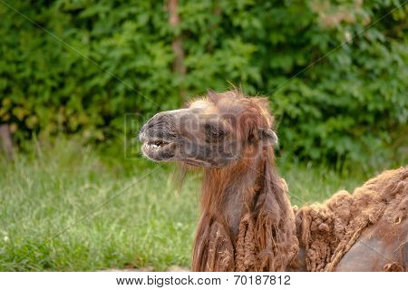 Camel Headshot On Natural Surroundings