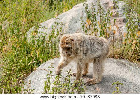 Berber Monkey Eating Nettles
