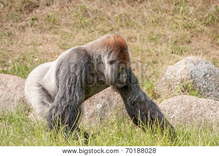 Gorilla Walking In The Grass