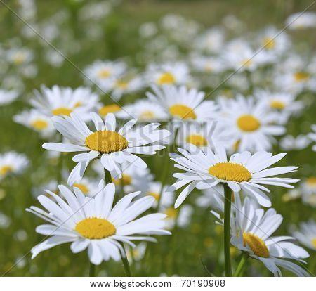 Oxeye daisy (Leucanthemum vulgare) flowers