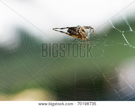 Female European Garden Spider On Cobweb Outdoors