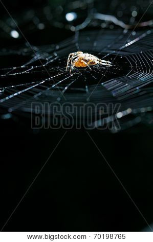 European Garden Spider On Cobweb