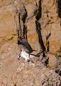 foto of osprey  - An Osprey readies for take off on the cliffs at Torrey Pines - JPG
