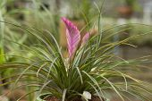 stock photo of tillandsia  - Bromeliads is a plant that has leaves and beautiful flower - JPG