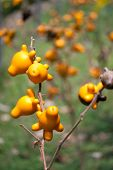 foto of nipple  - Yellow Nipple fruit on tree in garden - JPG