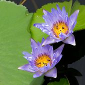 stock photo of water bug  - Purple water lily and green leaf in natural pond - JPG