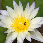 pic of water bug  - White water lily and bee close up - JPG