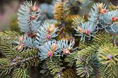 picture of blue spruce  - Evergreen branches of the Colorado blue spruce with young pink cones - JPG