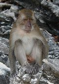 picture of south east asia  - Monkey in Phi Phi Island - JPG