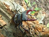 foto of insole  - male stag beetle on the insolation wood - JPG