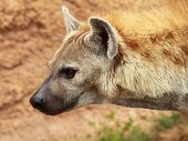 picture of hyenas  - the head of a spotted great hyena