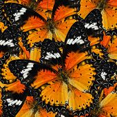 picture of malay  - Pile up of many beautiful Malay Lacewing Butterflies in full framing background texture - JPG