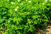pic of potato-field  - potato field on the sunny day in the summer