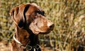 stock photo of hound dog  - Headshot of a brown labrador hunting dog - JPG