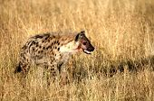 stock photo of nocturnal animal  - Portrait shot of the sneaky spotted hyena - JPG