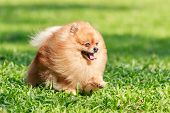 picture of pomeranian  - Pomeranian dog running on green grass in the garden - JPG