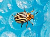 stock photo of potato bug  - colorado potato beetle on blue plastic film close up - JPG