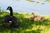 stock photo of mother goose  - Mother and Baby Laying in the Shade Next to a Pond - JPG