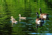 foto of mother goose  - Young Canadian Geese Swimming with Their Parents - JPG