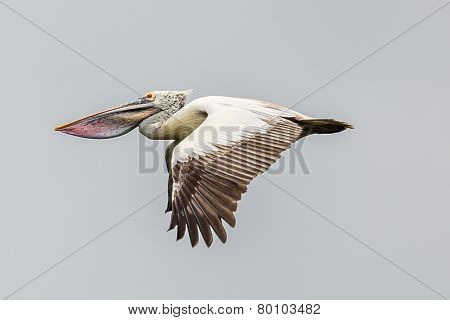 Pelican Flying Back to Nest
