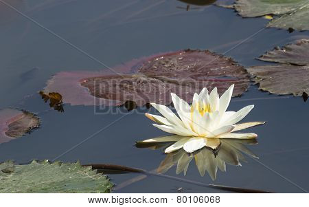 White lotus with the refection