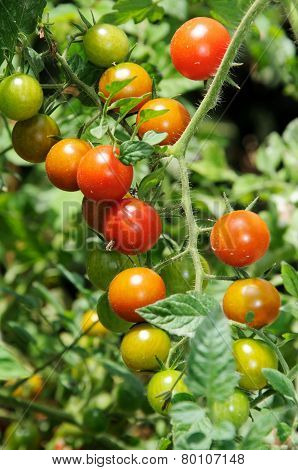Sweet Million cherry tomato plant.