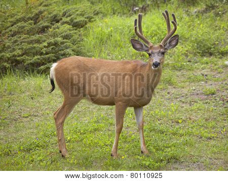 Red Deer With Green Background. Jasper. Canada