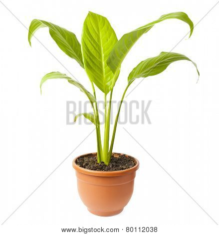 House Plant potted plant isolated on white