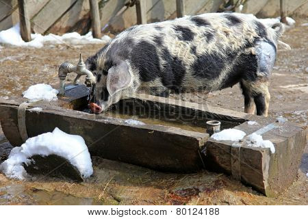 The Turopolje Pigs (Turopolje Schwein) - European pig drinking water from a wooden trough