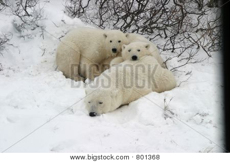 3 scared polar bears