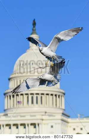 United States Capitol dome with seagulls foreground in winter - Washington DC, USA