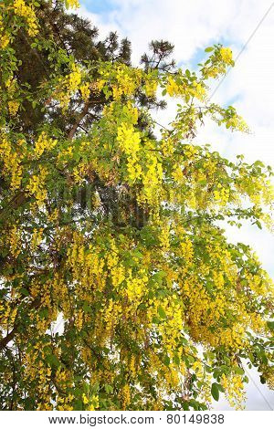 Golden Yellow Scented Flowering Branches Of The Golden Rain Tree