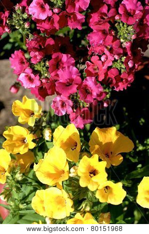 Yelow And Pink Nemesia Flowers Close Up