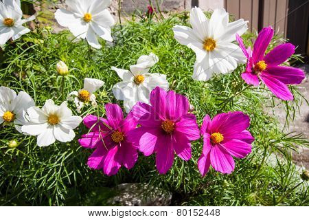 Pink And White Cosmos Flowers Close Up