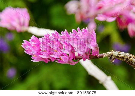 Pink Toothbrush Orchid Flower