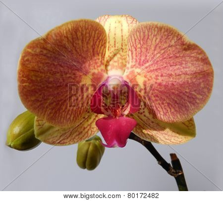 Orange orchid with a Marsala red cente