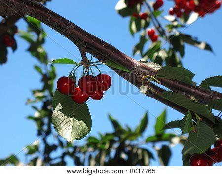 Red Cherries in Tree