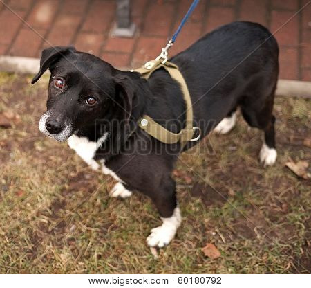 Black And White Dog In Green Harness