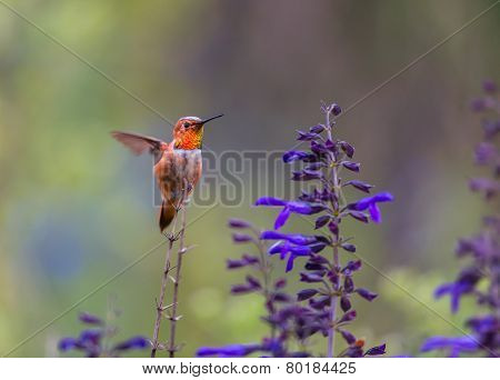 Male Rufous Hummingbird feeding on wild Salvia.