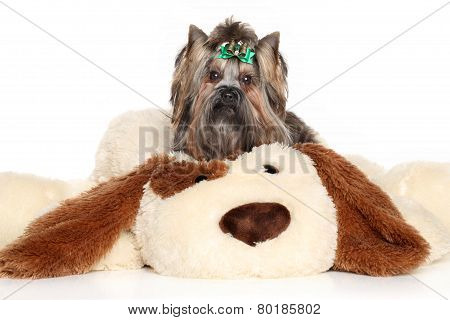 Yorkshire Terrier Lies On A Large Toy