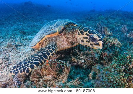 Hawksbill Turtle feeding on a reef